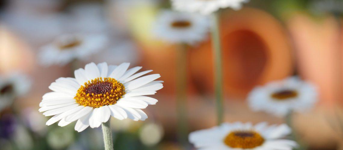 פרחים גינה